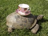 Teacup Turtle