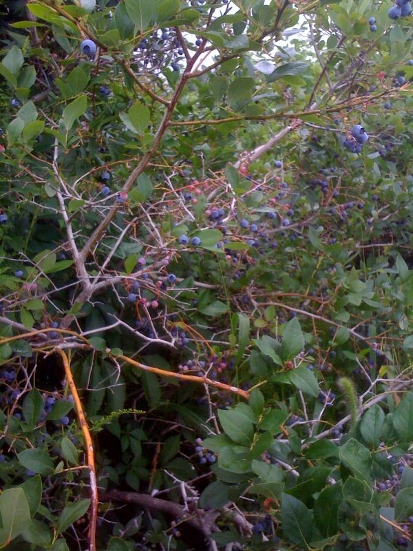 who knew blueberries came from a bush? i didn't...
