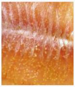 Fish with yellow grub
