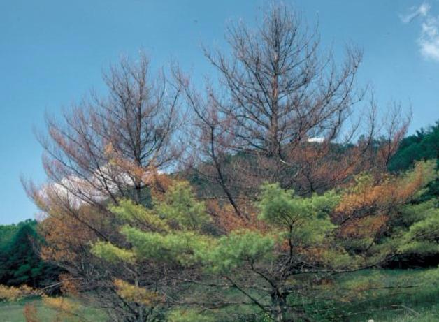 Defoliated PIne trees