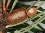 Empty Sawfly Cocoon
