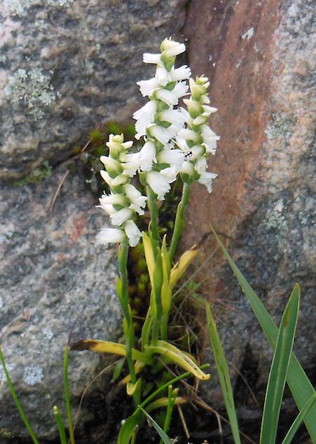 Nodding Ladies Orchid