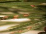 Sawfly Egg Sacs