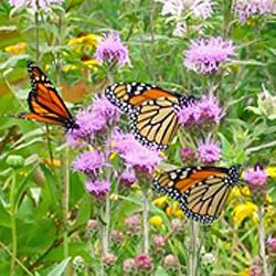 Monarch butterflies in Kathleen's yard.