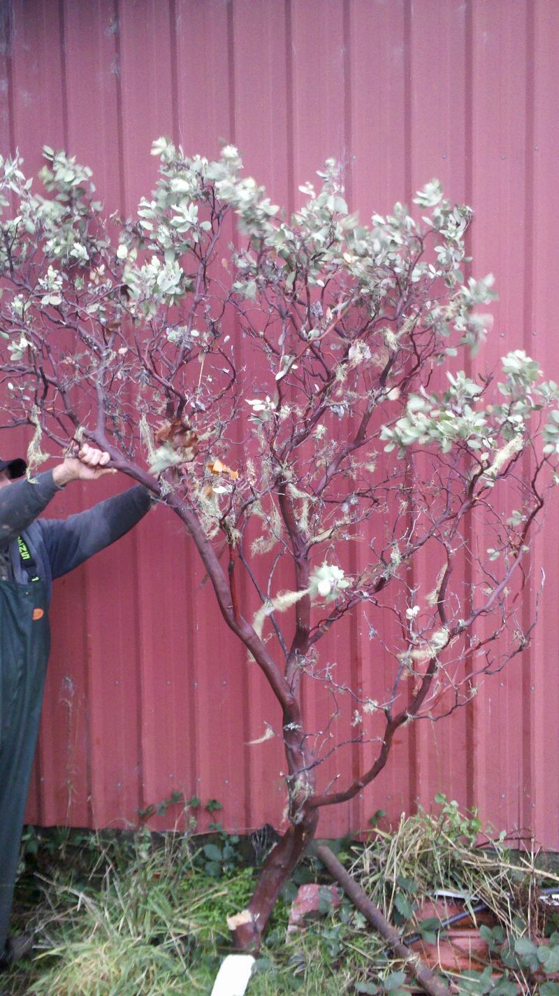 specimen manzanita branches