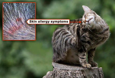 у кота аллергия на корм чем лечить