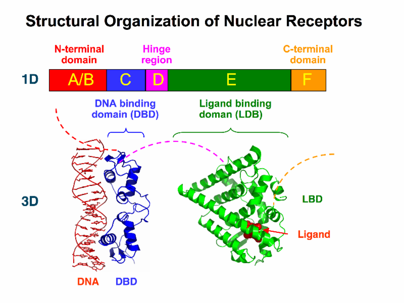 Structural organization of nuclear receptors