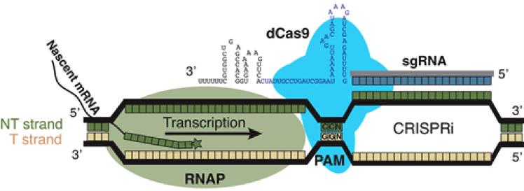 CRISPRi image
