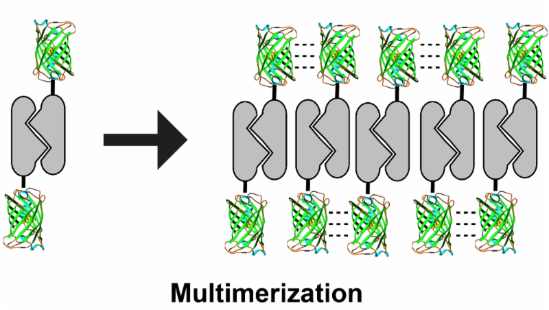 fluorescent protein multimerization
