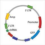 Lentiviral Plasmid