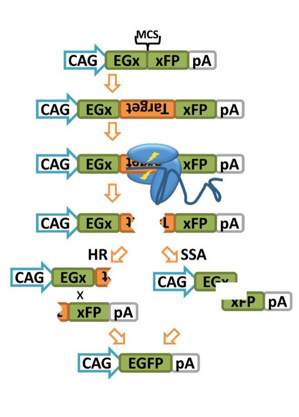 pCAG-EGxxFP-gRNA-validation-Masahito-Ikawa