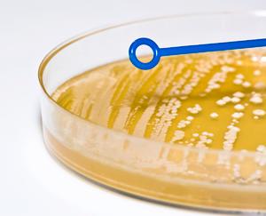 Bacterial Plate