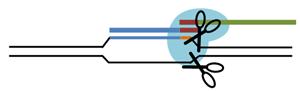 CRISPR Cas9 schematic