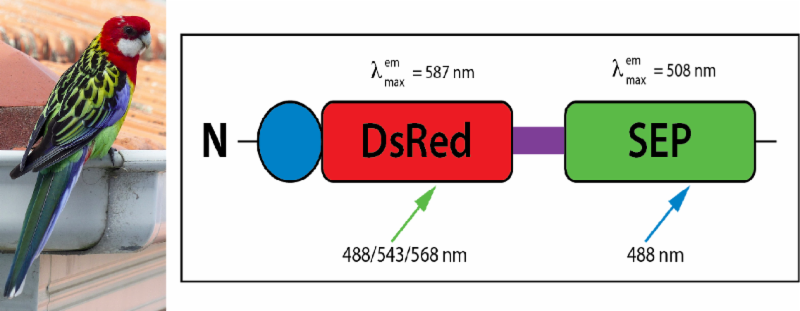 The Rosella pH Sensitive Fluorescent Biosensor