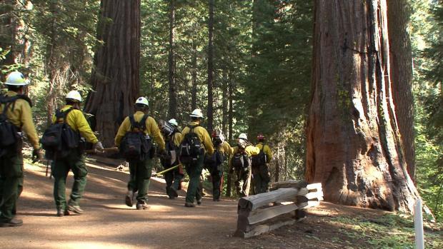 Yosemite sequoia grove