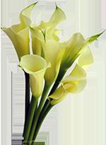 calla-lily