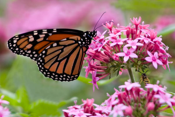 monarch_bee