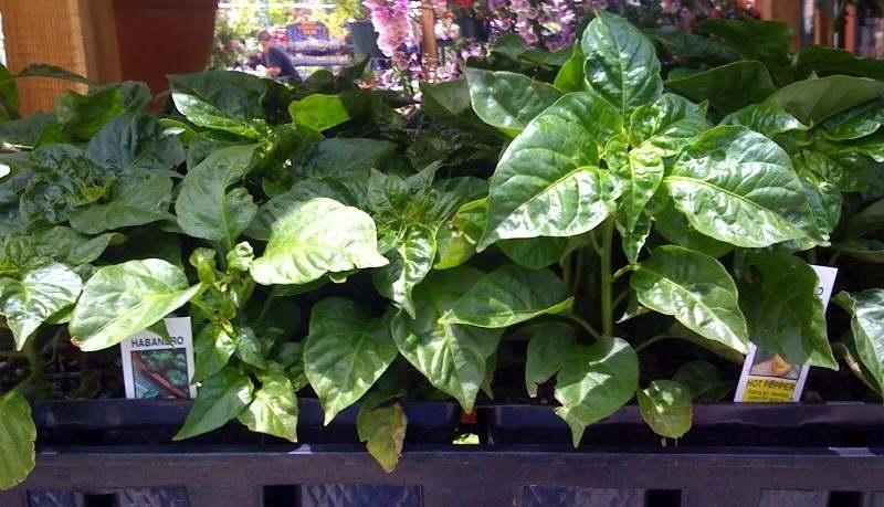 veggie plant