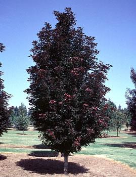 Crimson Sentry Maple