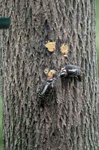 Downy Woodpecker Father
