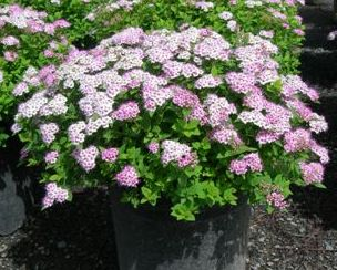 Little Princess Spiraea 5gal
