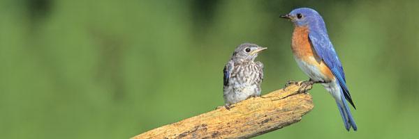 Adult_Bluebird_and_Juvenile_Main