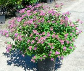 Anthony Waterer Spiraea 5gal