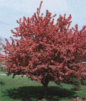 Indian Magic Crabapple Tree