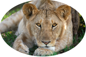 lioness laying