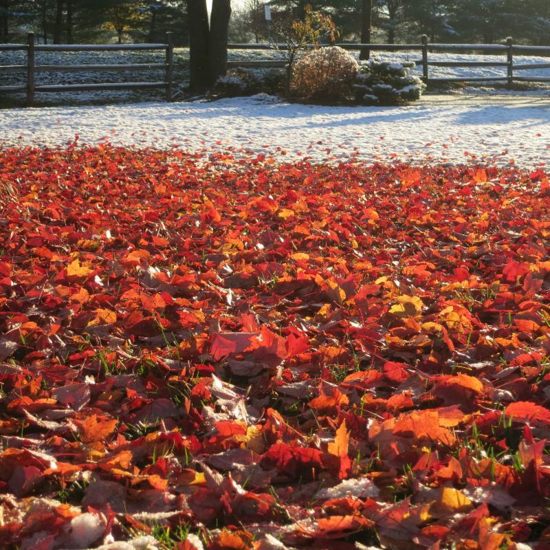 Maple Leaves & Snow
