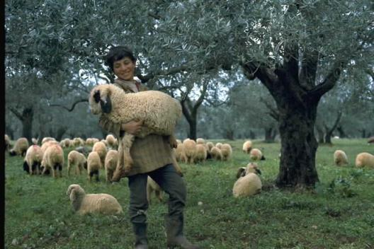 Shepherd Holding Sheep