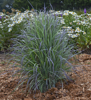 Twilight Zone Little Bluestem