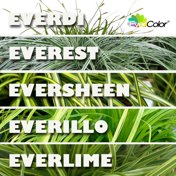 EverColor Sedges