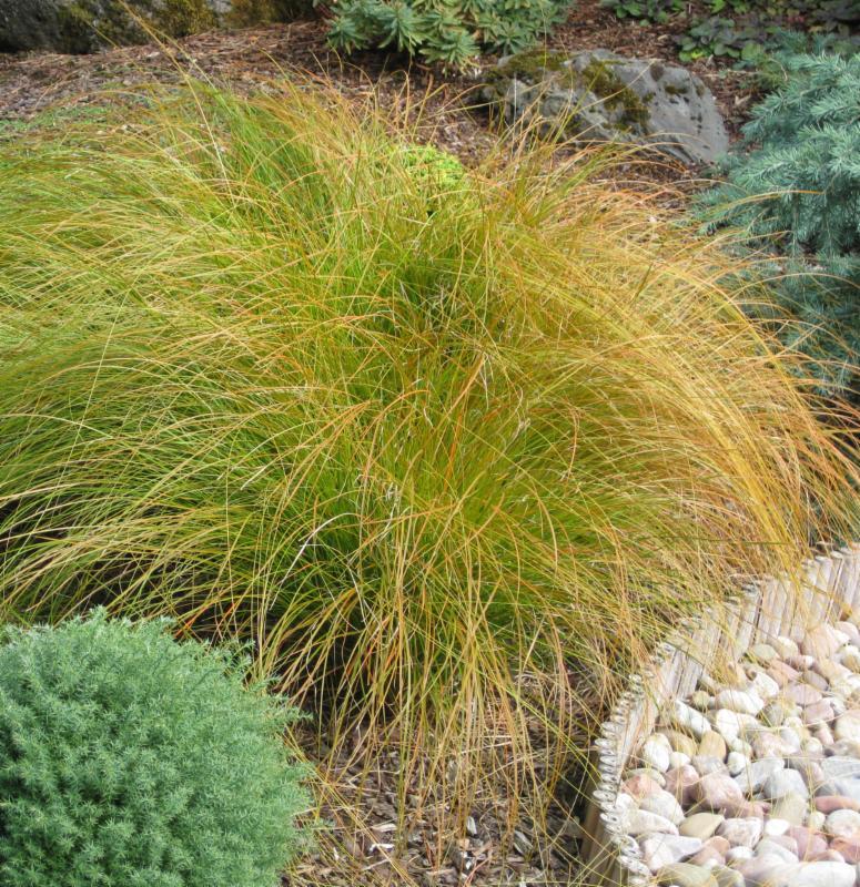 Carex testacea _Prairie Fire_