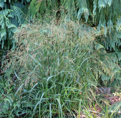 Panicum 'Cape Breeze'