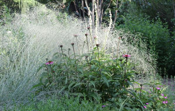 Eragrostis elliottii 'Wind Dancer'
