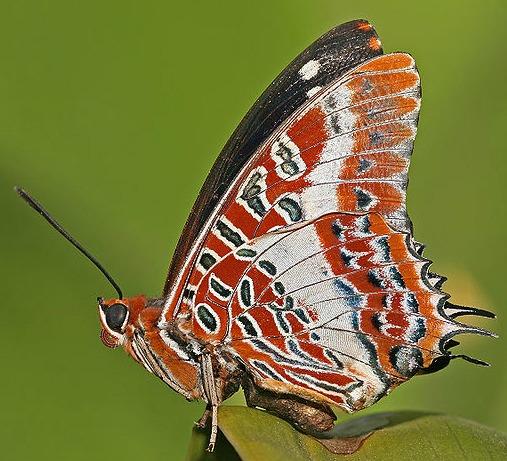 Churchills butterflies