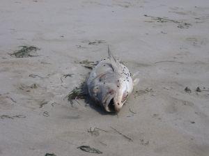 dead cod