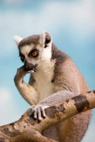 Thinking Lemur