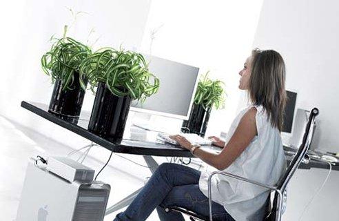 Chlorophytum in office