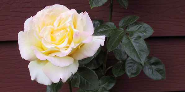 Rose horizontal