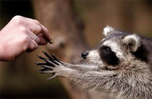 Racoon and hand
