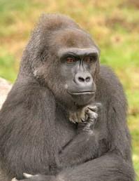 The Thinker Gorilla