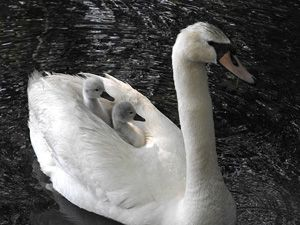Swan & babies