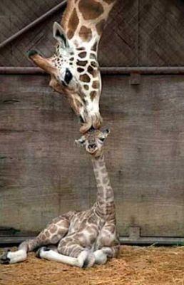 giraffe kisses baby