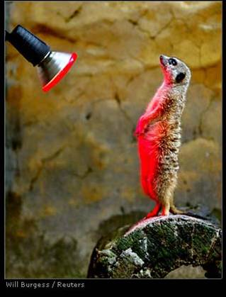 Lemur w heat lamp