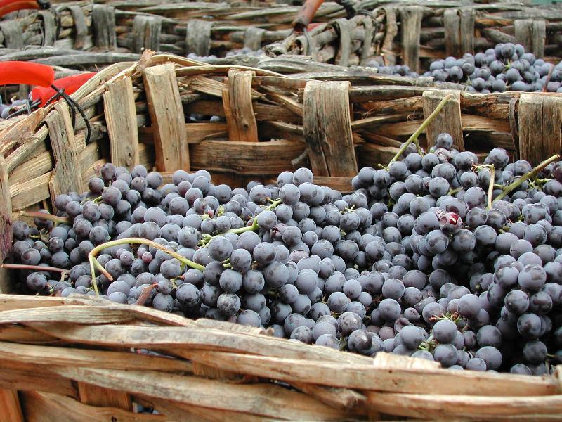 CC cellar grape basket