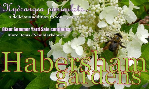 Hydrangea Paniculatas In Full Bloom 25 Off New Items