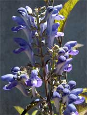 Downy Skullcap (Scutellaria incana)