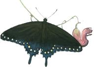 Pipevine Swallowtail (Danaus plexippus)